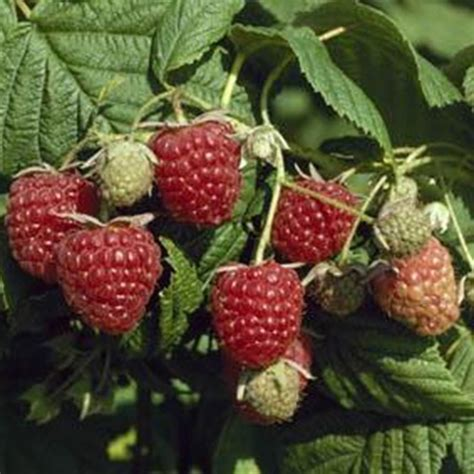 buy raspberry autumn bliss autumn fruiting raspberry