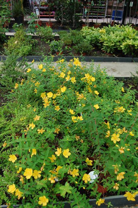 hypericum hiperico  hierba de san juan