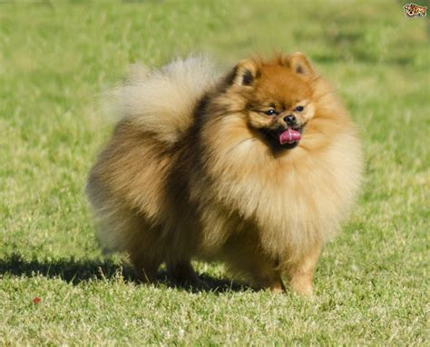 miniature dogs 10 of the most popular small breeds within the uk pets4homes