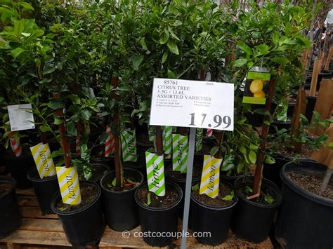 how much are costco trees 28 images costco trees