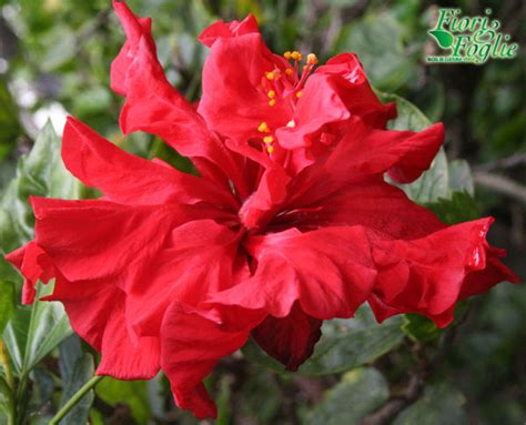 fiori esotici immagini fiori esotici gli incontri verdi delle vacanze fiori