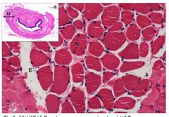 circular pattern quizlet b6 histology lab muscle tendon and ligament flashcards