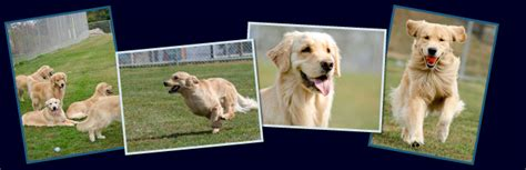 golden retriever temperament test golden retriever puppy temperament test photo