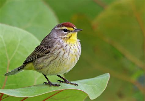where the birds come from the push to protect the boreal