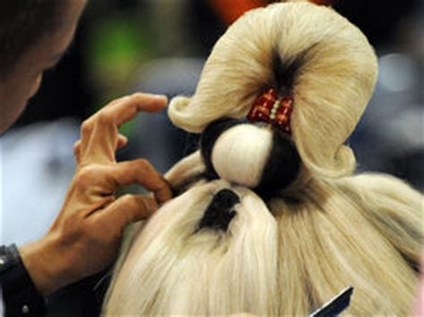 shih tzu ponytail sure there s a there somewhere world news express co uk