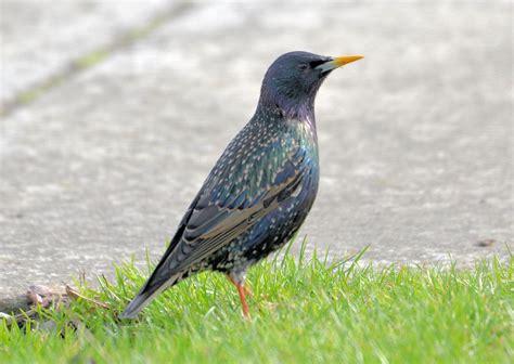 bird lore european starling my edmonds news