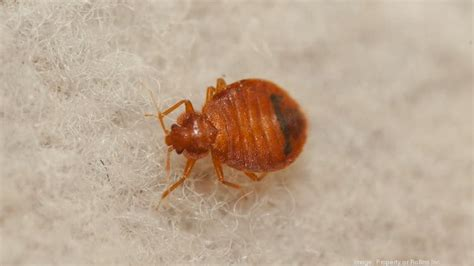 orkin bed bugs orkin study ranks honolulu among top 50 cities with high