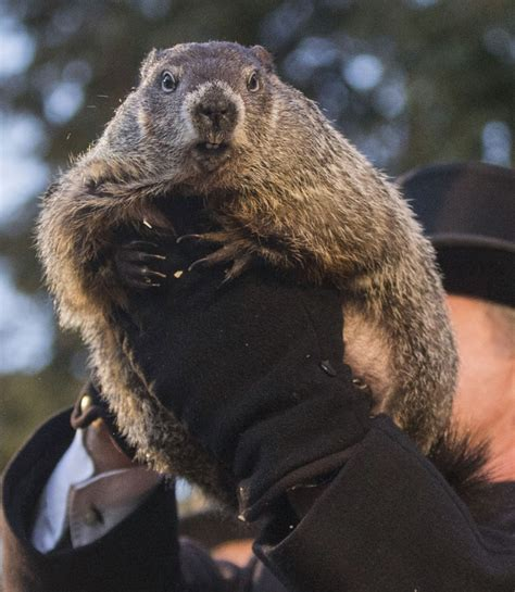 groundhog day uk tv pennsylvania s punxsutawney phil predicts early