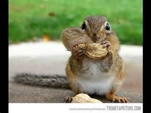 funny squirrel hiding nuts youtube