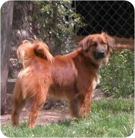 irish setter dogs for sale australia nestle adopted dog katy tx irish setter australian