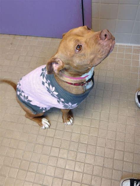 sweaters for pitbulls oltre 1000 idee su cani pit bull su cuccioli tazza da t 232 proprietari di