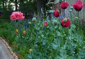 Gardeners Cottage - poppies for memories garden rant