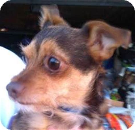 miniature pinscher yorkie joe adopted seattle wa yorkie terrier miniature pinscher mix
