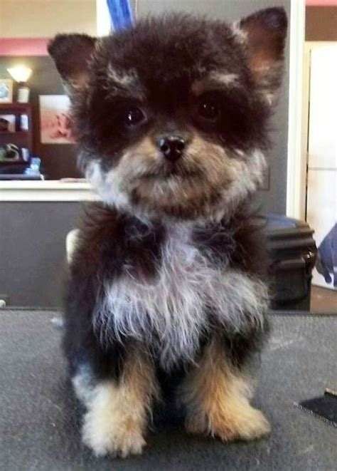 yorkie poodle mix yorkipoo terrier poodle mix doggone poodle mix 1 pint