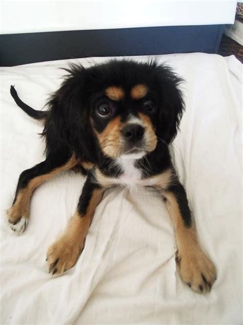 cavalier king charles spaniel pug mix pekingese pug mix breed breeds picture