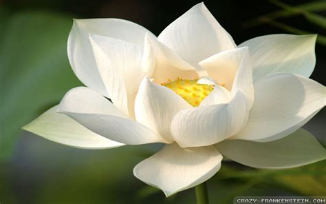 what is white lotus white lotus wallpaper 1920x1200 23722