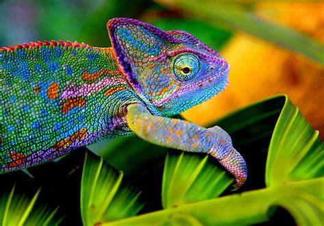The Chameleon by Colour Chameleons November 2012 S Club