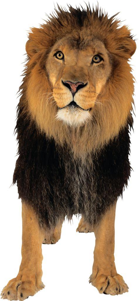 lion png    png images  lion png
