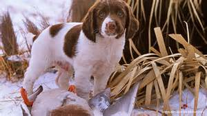 Dogs For Sale In Gun Dogs For Sale Absolute Gun Dogs