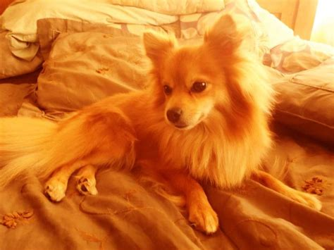 how much is a pomeranian chihuahua mix 25 best ideas about pomeranian chihuahua on baby dogs puppies