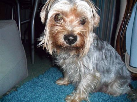 silver yorkie puppies silver yorkie terrier puppies breeds picture