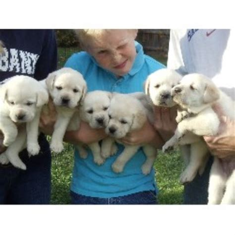 free puppies pa labrador retriever lab breeders in pennsylvania freedoglistings page 2