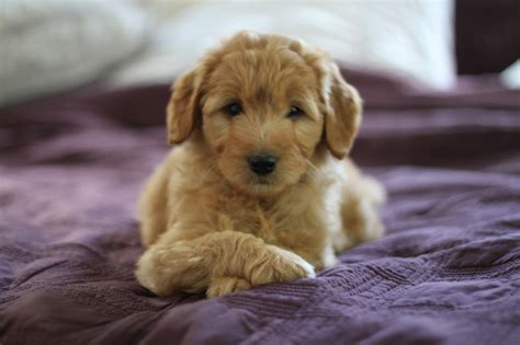 doodle puppy goldendoodle puppy www imgkid the image kid has it