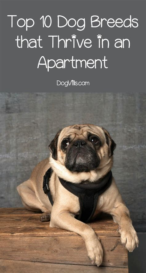 Appartment Dogs by Best Breeds For Apartments 10 Dogs Who Thrive In