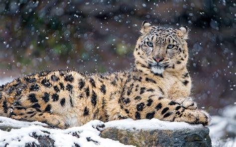 imagenes 4k wallpaper animales snow leopard 4k wallpapers hd wallpapers id 18450