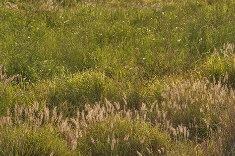 South Grass by Photo 1385 12 Foxtail Grass Buffelgrass