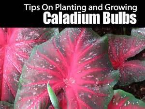 tips on planting and growing caladium bulbs