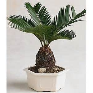Potted Palms For Patio Amazon Com 9greenbox Sago Palm Bonsai Great Gift