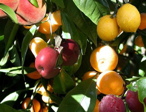 salad fruit tree the fruit salad tree grows six different fruits at the