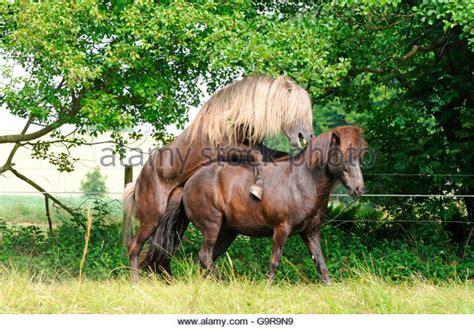 breeding horses mares stallion mare and stallion mating stock photos mare and stallion