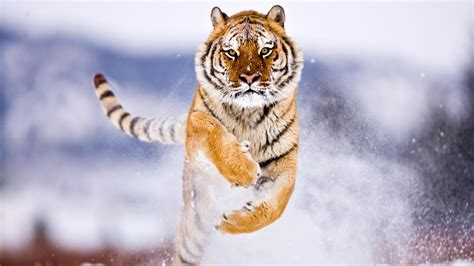 what color are tigers brownish orange tiger colors photo 34705178 fanpop