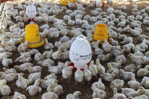 Bibit Ayam Potong Sekarang usaha bibit ayam pedaging tempat lokasi pemeliharaan