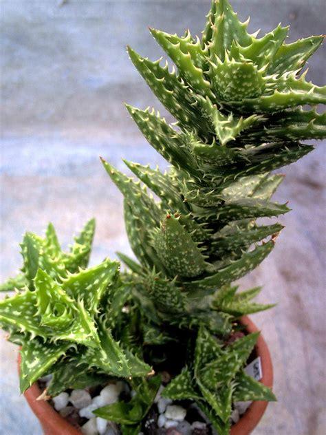 succulent plants world of succulents aloe juvenna tiger tooth aloe world of succulents