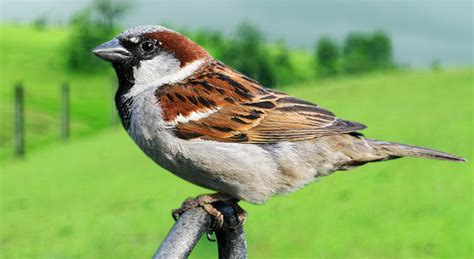 sparrow bird photos hd wallpapers download