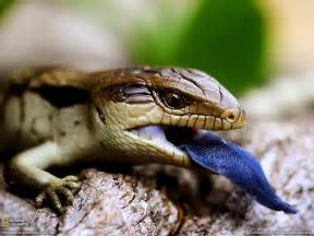 blue tongued lizard picture animal wallpaper national