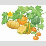 Pumpkins Growing   600 x 469 jpeg 32kB