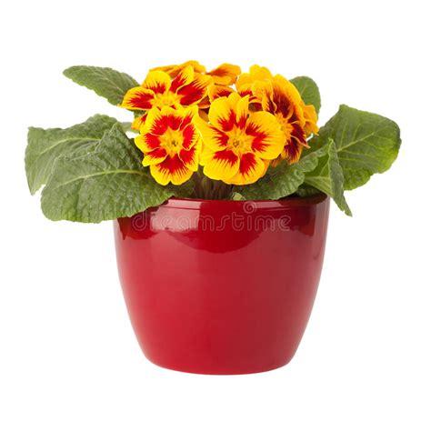primule in vaso fiore della primula in vaso rosso fotografia stock