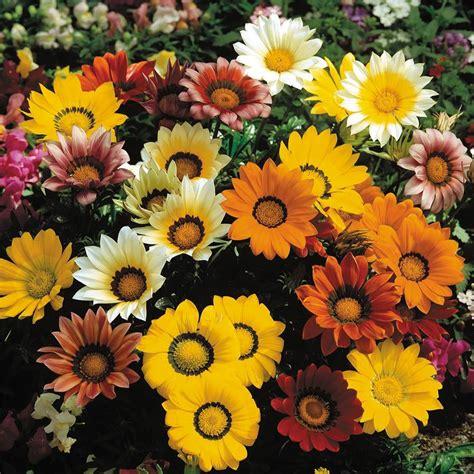Bunga Gazania Mix 2 gazania seeds 8 top gazanias annual flower seeds
