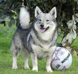 wolf corgi puppy 17 best images about swedish vallhund on