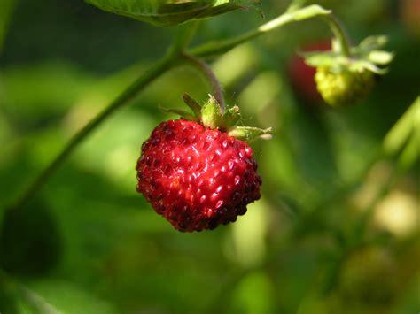 nedlasting filmer wild strawberries gratis bildet natur skog gren blomstre anlegg sol frukt