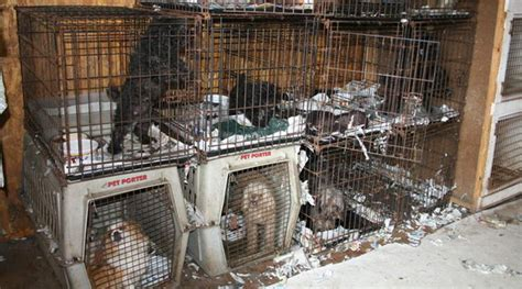 report puppy mill humane society accuses american kennel club of protecting puppy mills