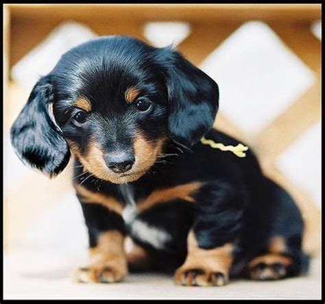 dachshund puppies for sale wi 4js superstars