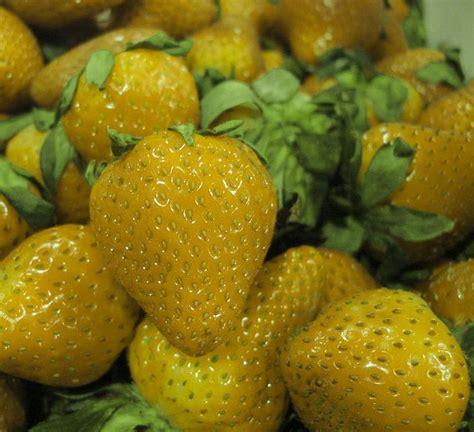 Strawberry Yellow yellow strawberry gardening