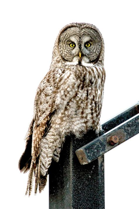 wisconsin owls identification late winter takes a toll on owl population the northwoods river news rhinelander wisconsin