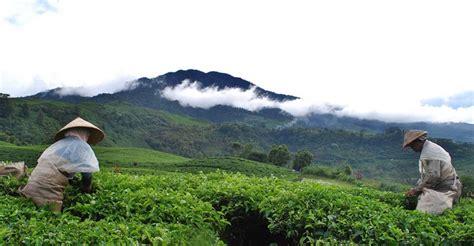 Teh Desa Jawa 7 tempat wisata di wonosobo selain dieng