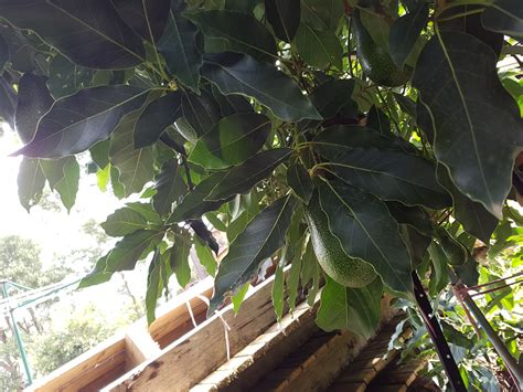 best fruit trees to grow in melbourne forum growing avocado in melbourne
